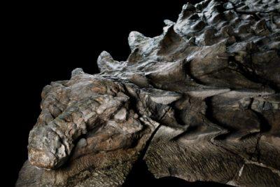 nodosaur-fossil-canadian-mine-face.adapt_.1900.1-400x267